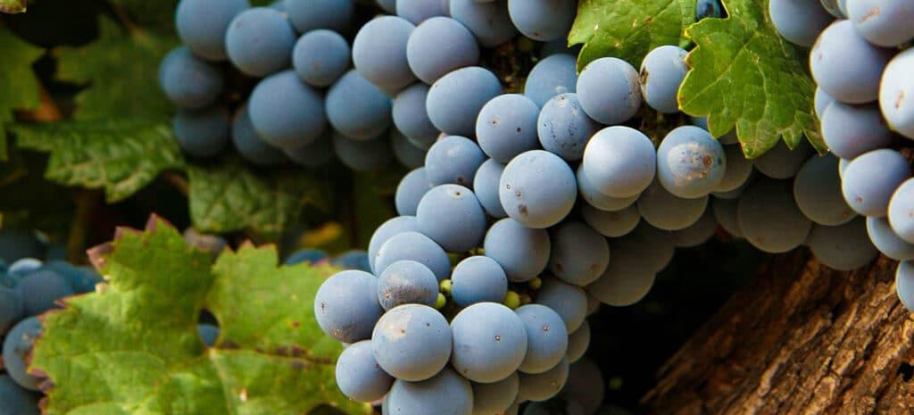 WINE GUIDE-Grape varieties-MALBEC