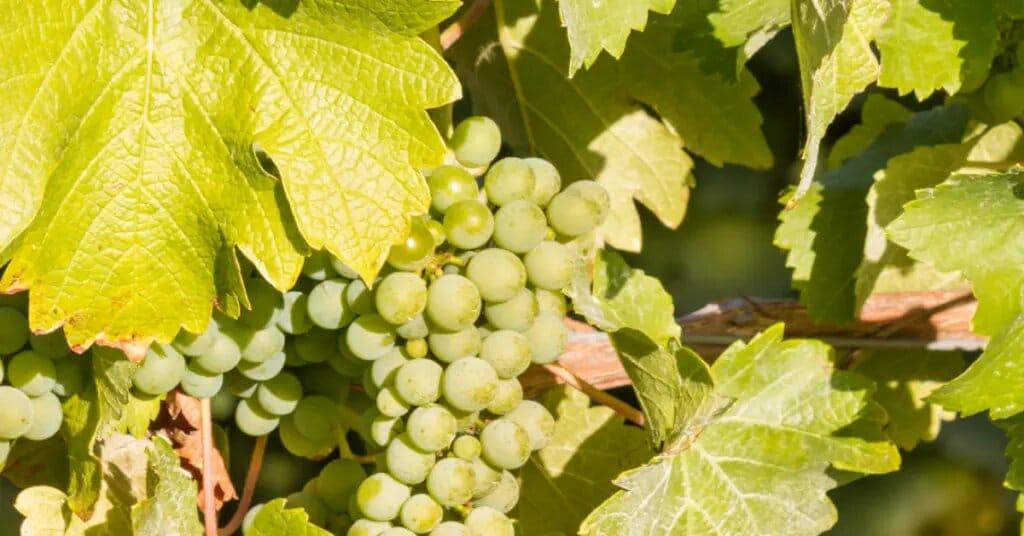 Grape varieties: sauvignon blanc